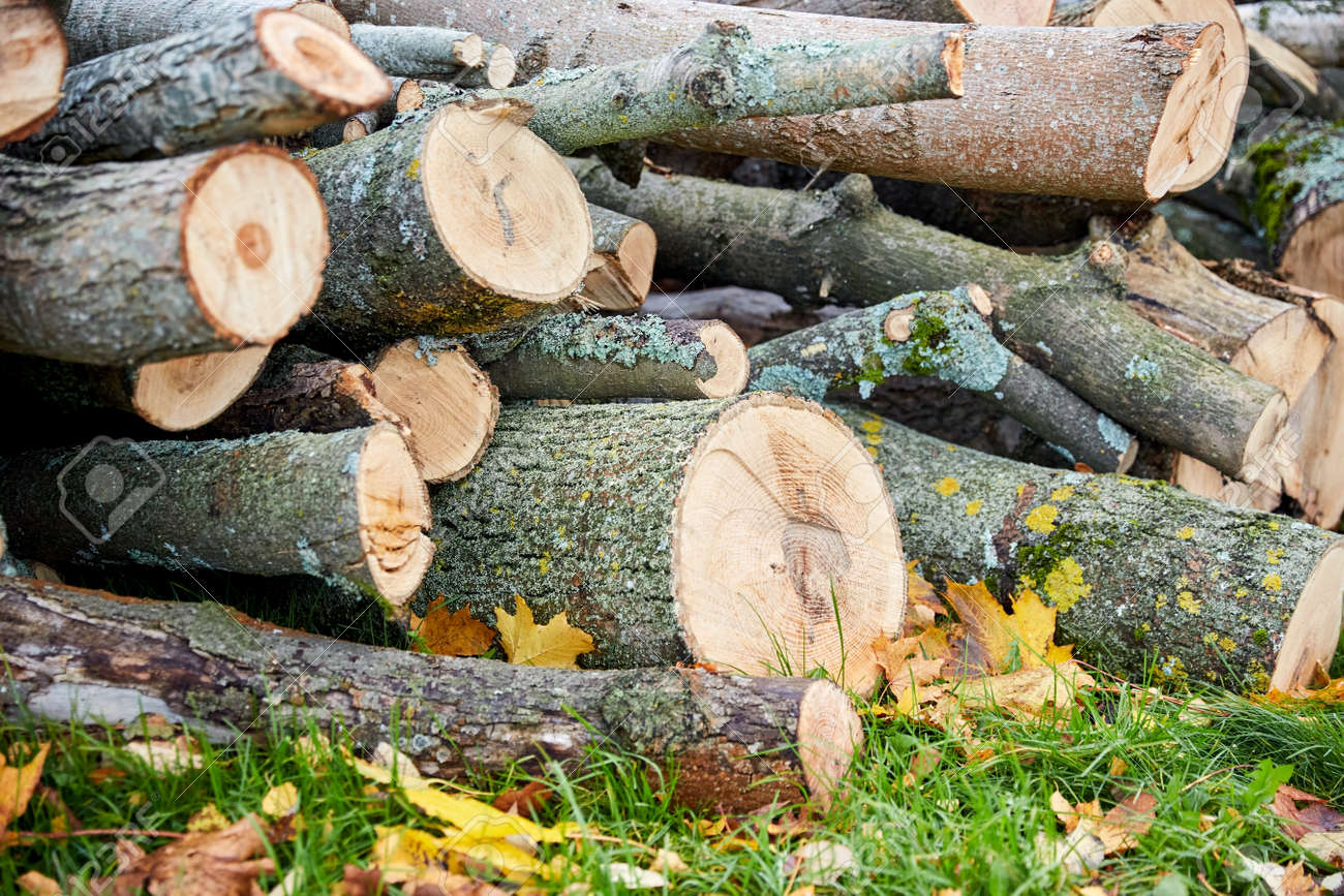 trunks of felled trees or logs outdoors in autumn - 169965962
