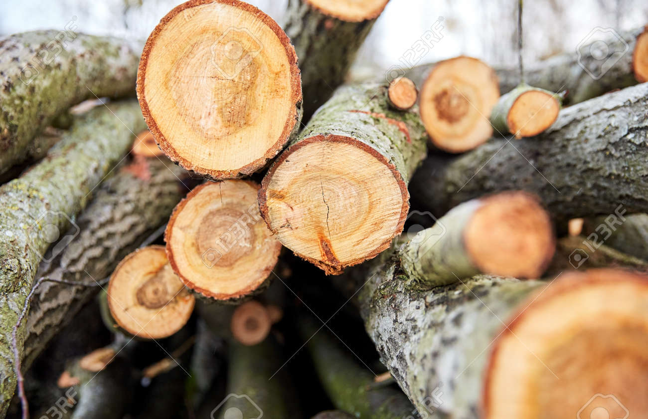 trunks of felled trees or logs outdoors in autumn - 169966429