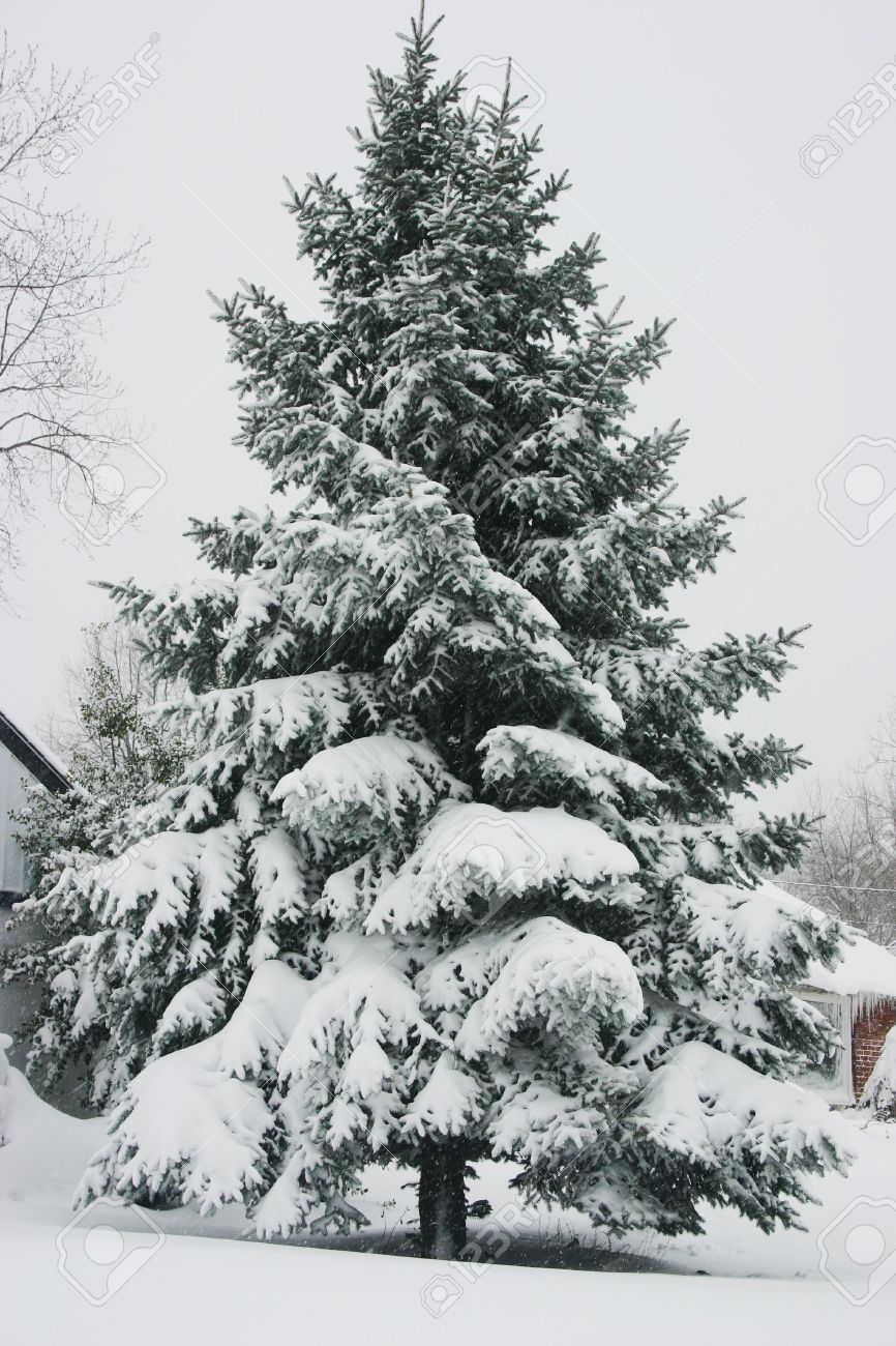 pine tree tops covered in snow stock photo picture and royalty free