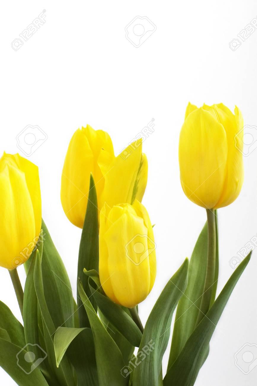 Fresh tulips isolated on white background Stock Photo - 2687952