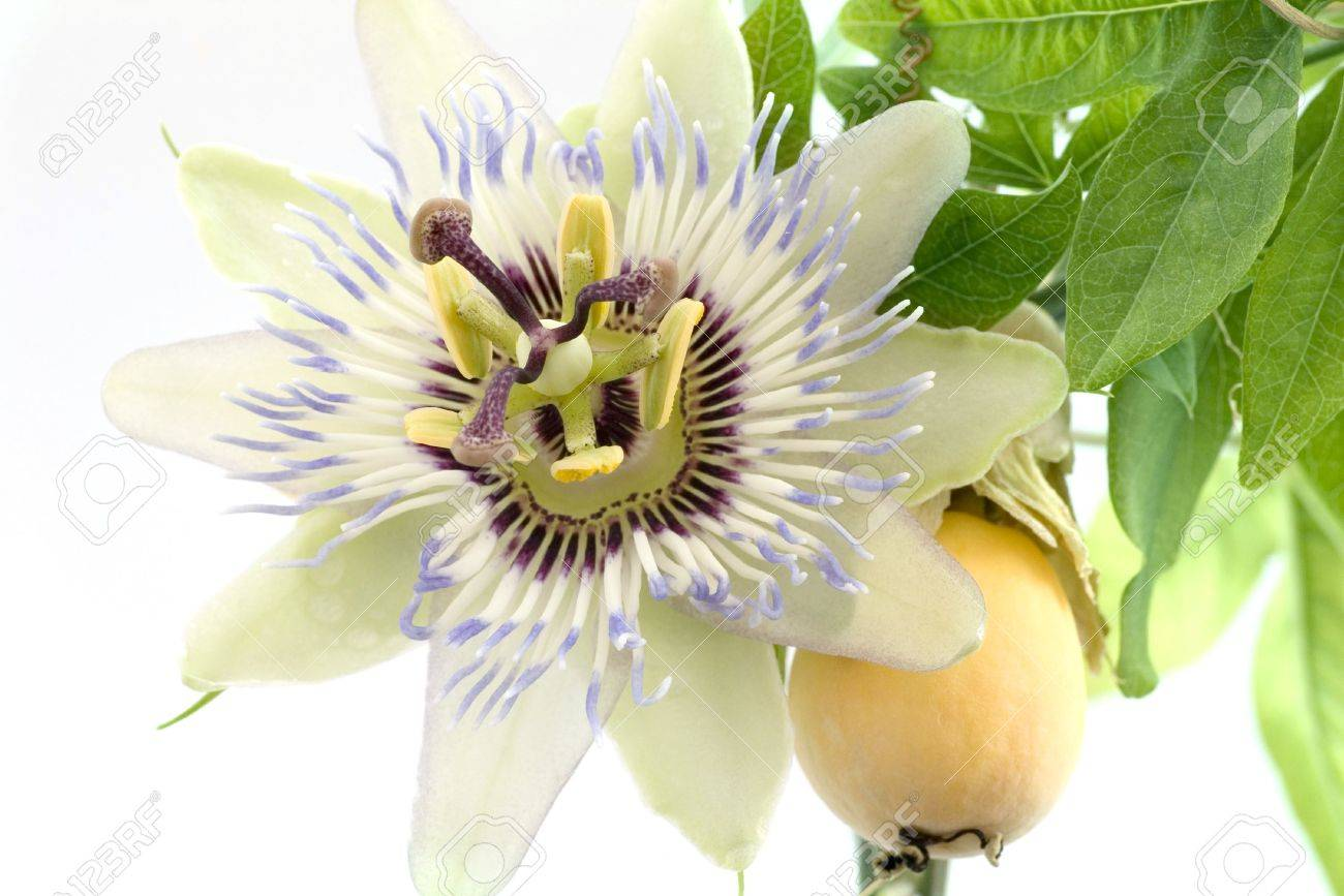 Close up of passiflora passion fruit and passionflower on white close up of passiflora passion fruit and passionflower on white background stock photo dhlflorist Images