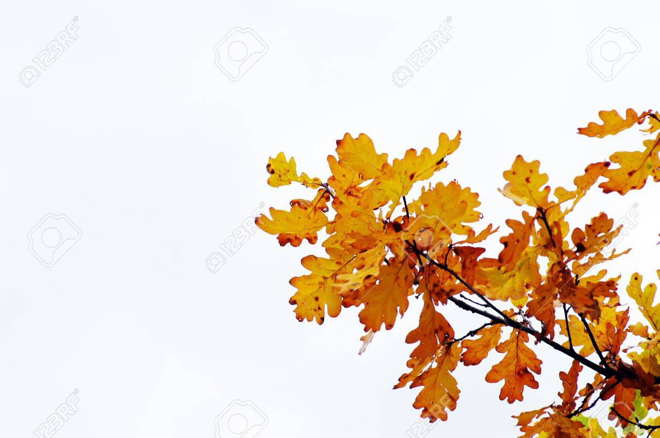 Autumn Leaves of oak on the branch Stock Photo - 3739862