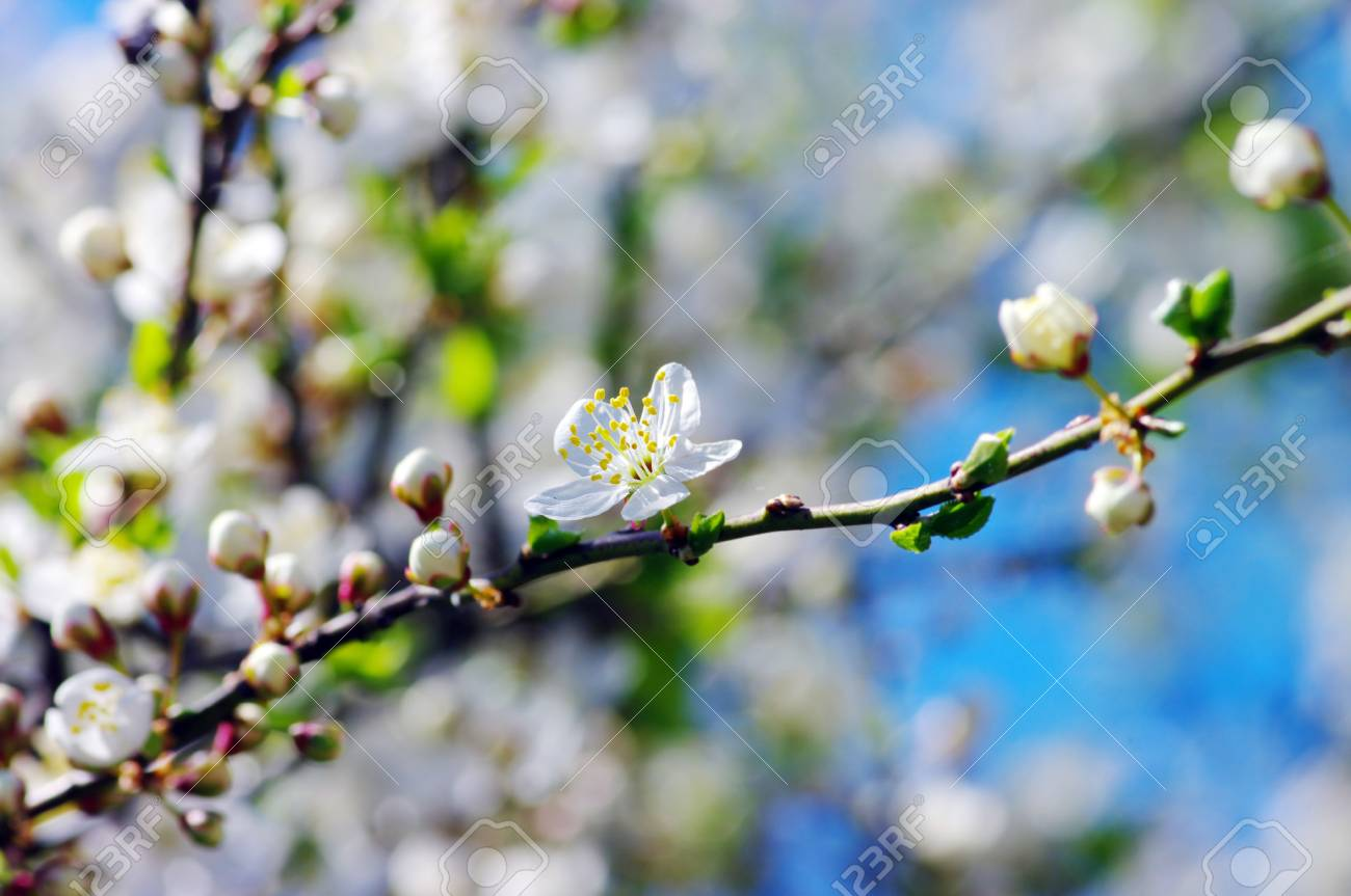 White apricot flowers with blue sky background Stock Photo - 4756969