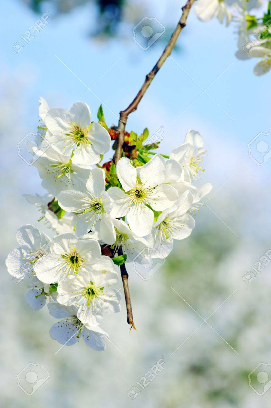 Cherry tree with white flowers Stock Photo - 5346176