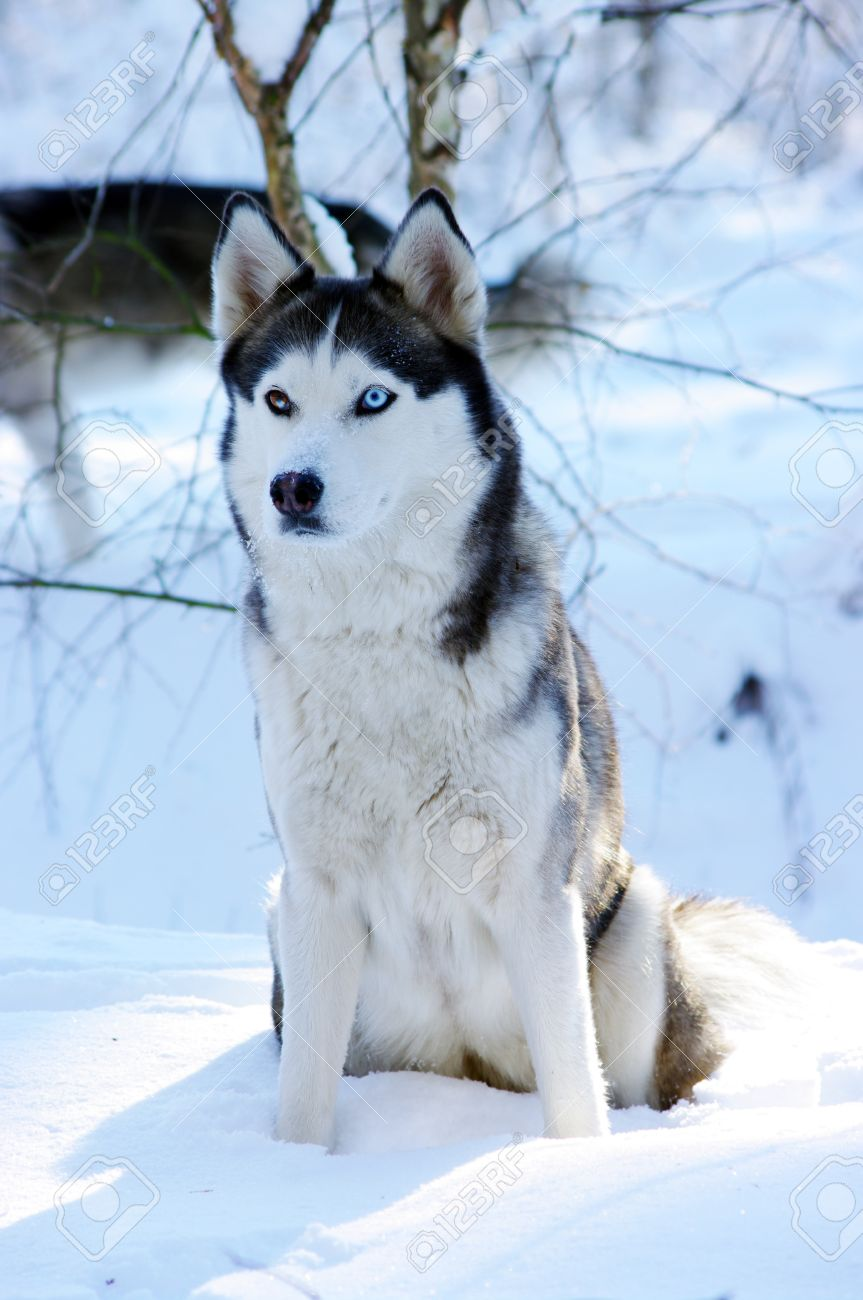 Siberian Husky Dog Sled Dog With Blue Eyes In The Snow Stock