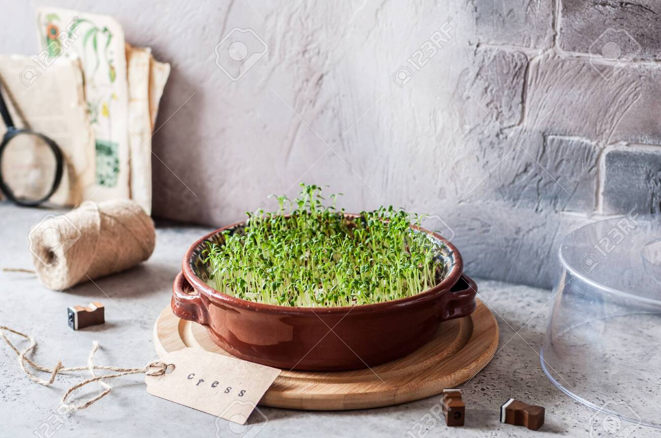 Growing Micro Greens, Sprouting Cress Salad Seeds, copy space for your text - 120212234