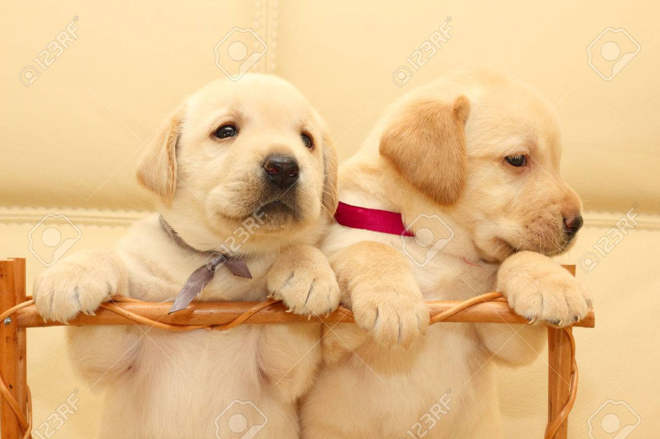 Group Of Adorable Labrador Puppies Stock Photo Picture And Royalty