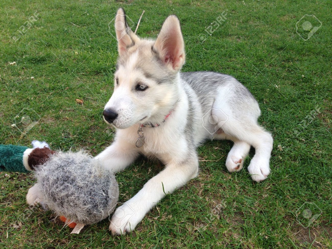 Siberian Husky Puppy And His Duck Toy Stock Photo Picture And Royalty Free Image Image 21651399