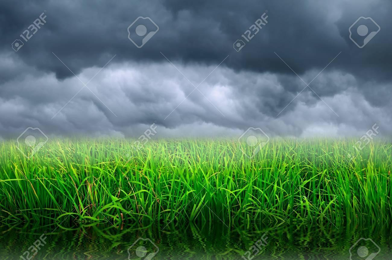 rice farm and stormy sky Stock Photo - 8439839