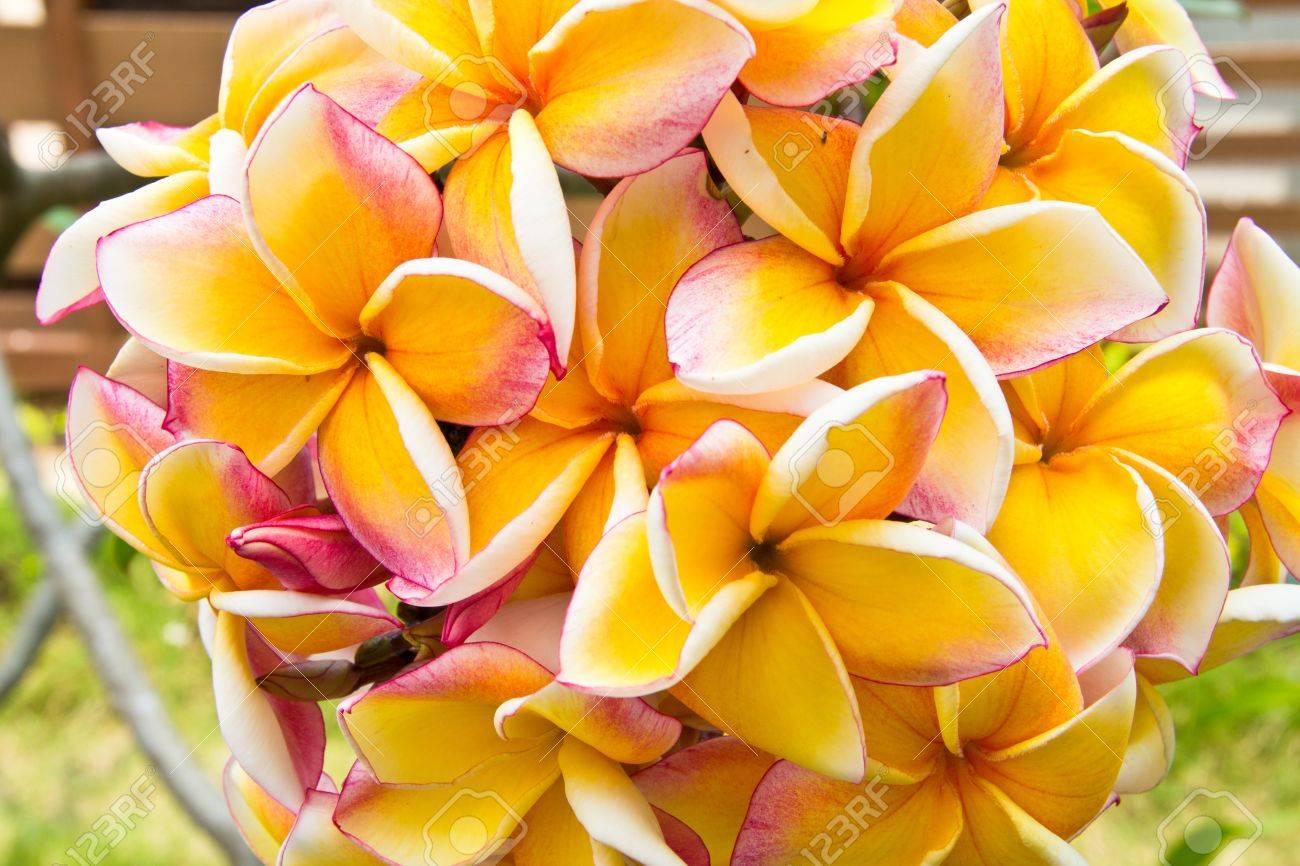 Beautiful plumeria flower in the tropical garden Stock Photo - 13055299