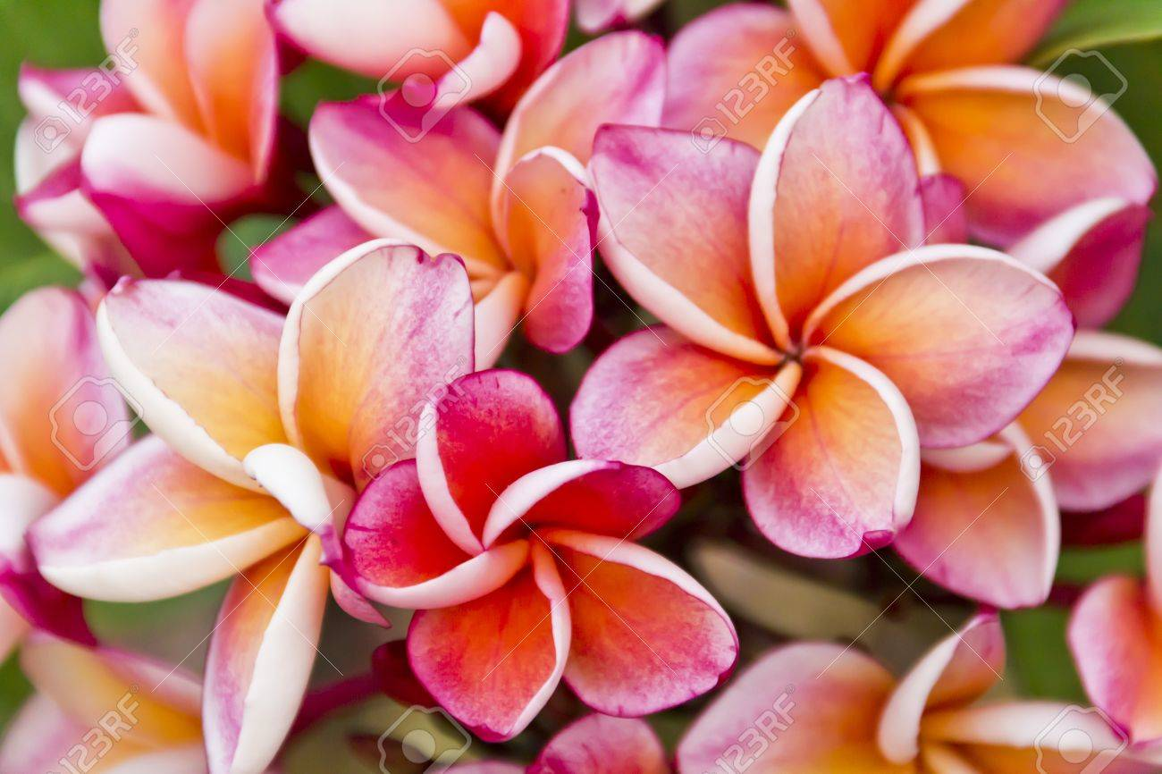 Frangipani Flowers, A Variety Of Background Colors Stock Photo ...