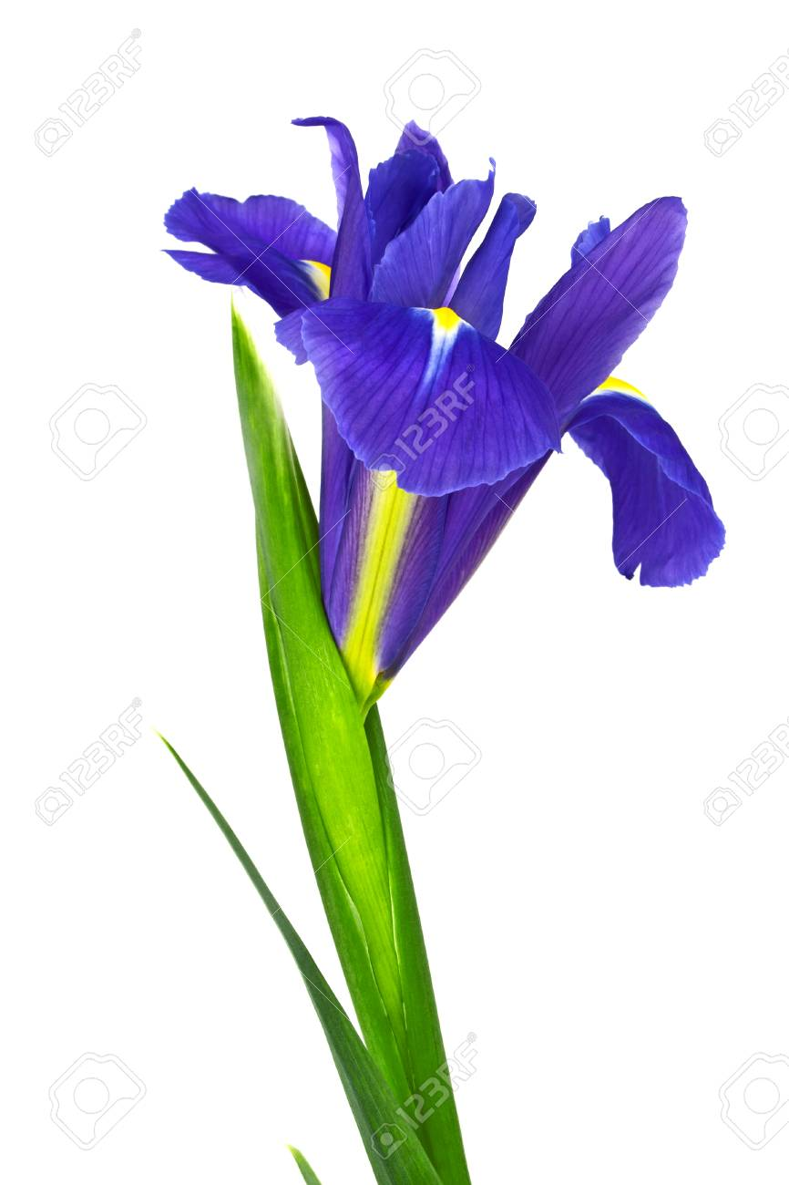 Blue Iris Flower Isolated On White Background Stock Photo Picture