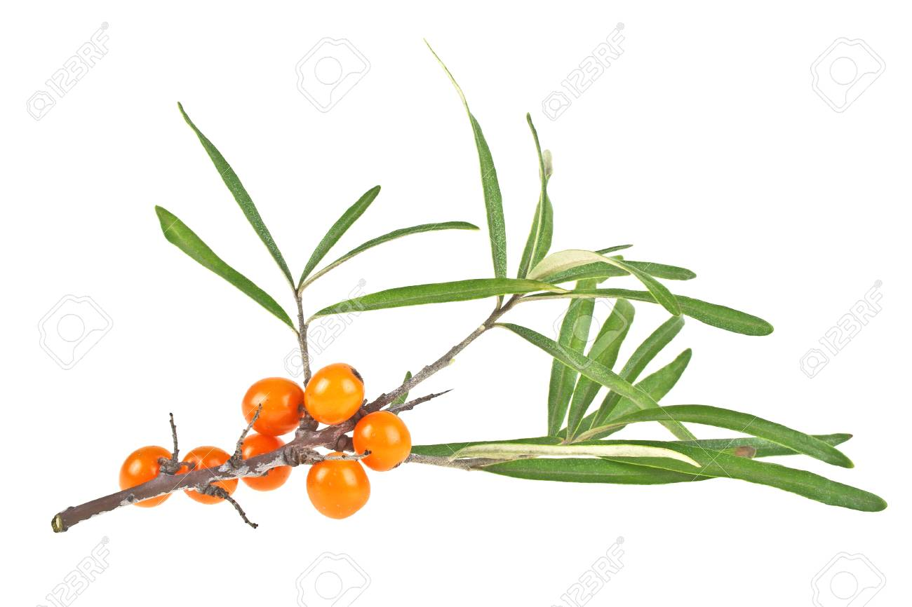 Sea buckthorn berries branch with leaves isolated on white background - 62320965