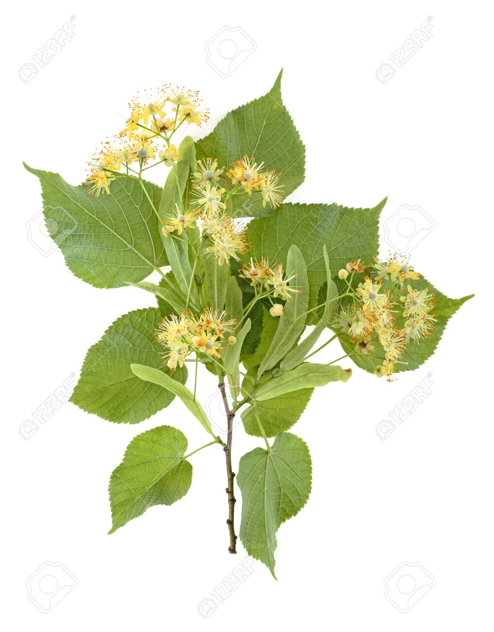 Flowers and leaves of linden isolated on a white background - 124554246