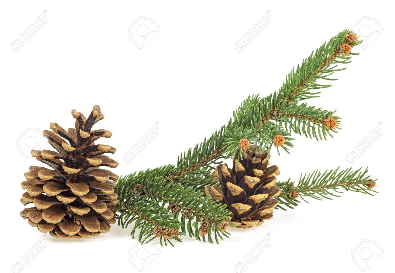 Branch of fir tree and two fir cones, isolated on a white background. - 135236015