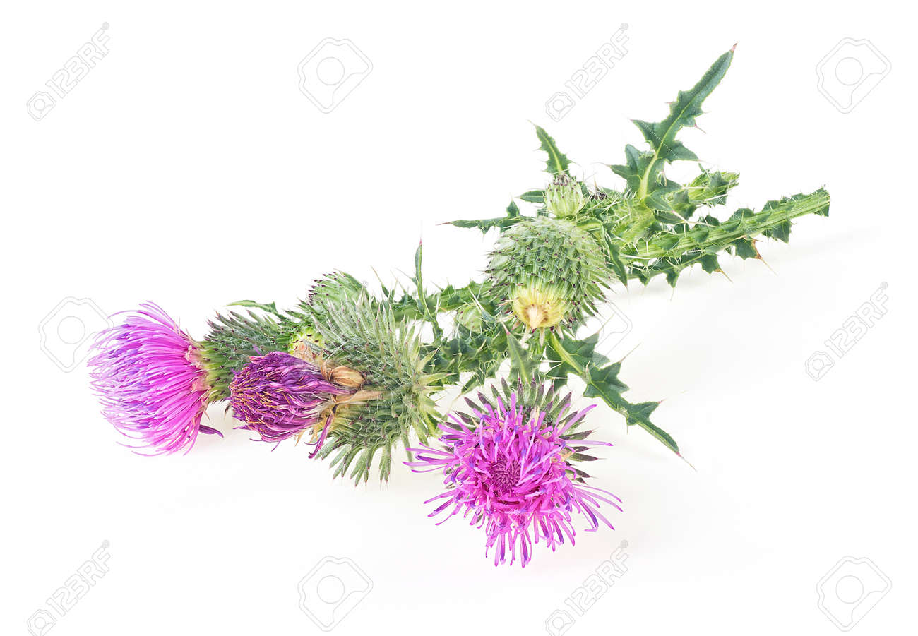Milk thistle flowers isolated on a white background with copy space. Front view. - 159044484