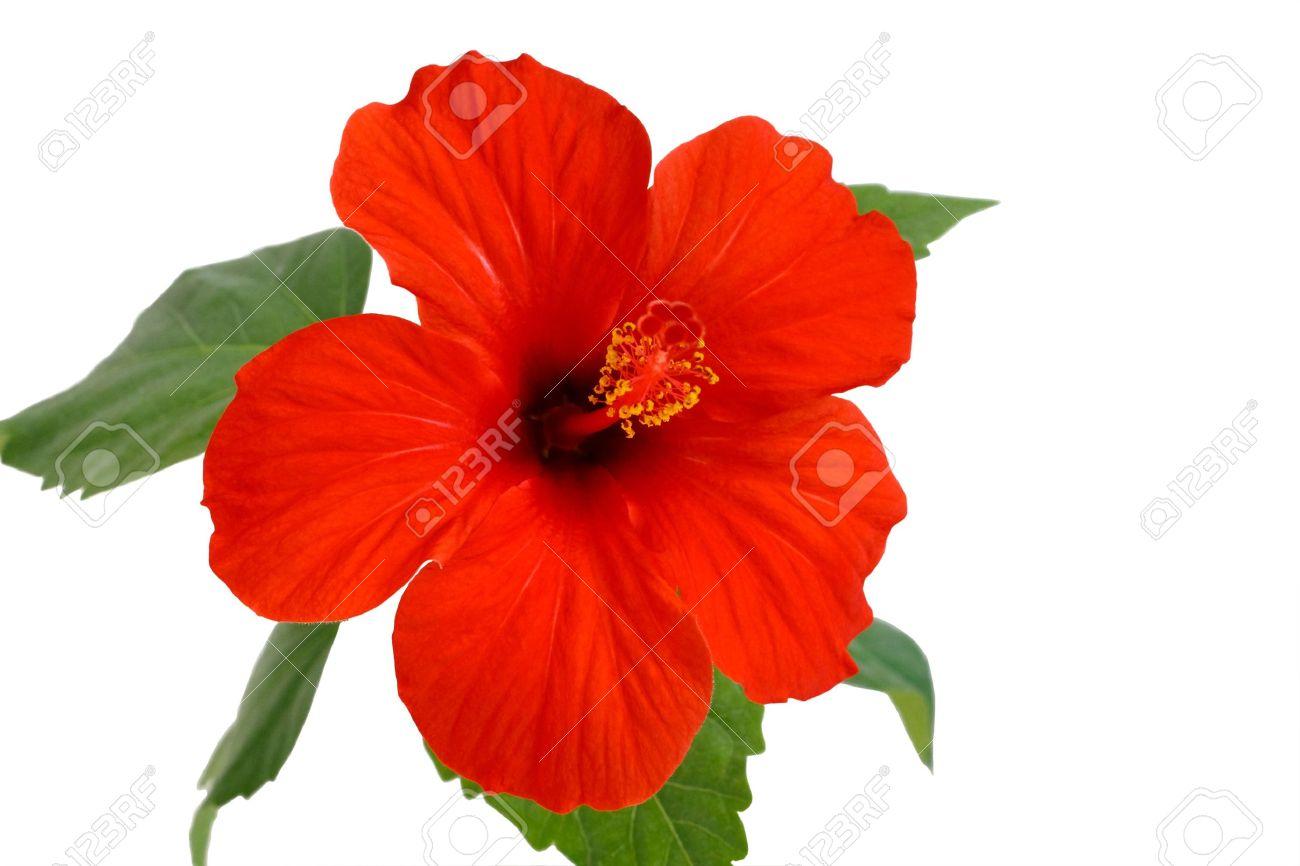 fleur d'hibiscus est une fleur d'amour banque d'images et photos