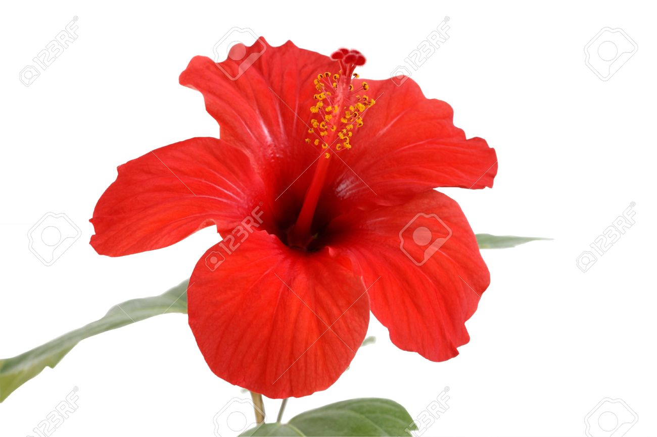 hibiscus flower stock photos  pictures. royalty free hibiscus, Beautiful flower