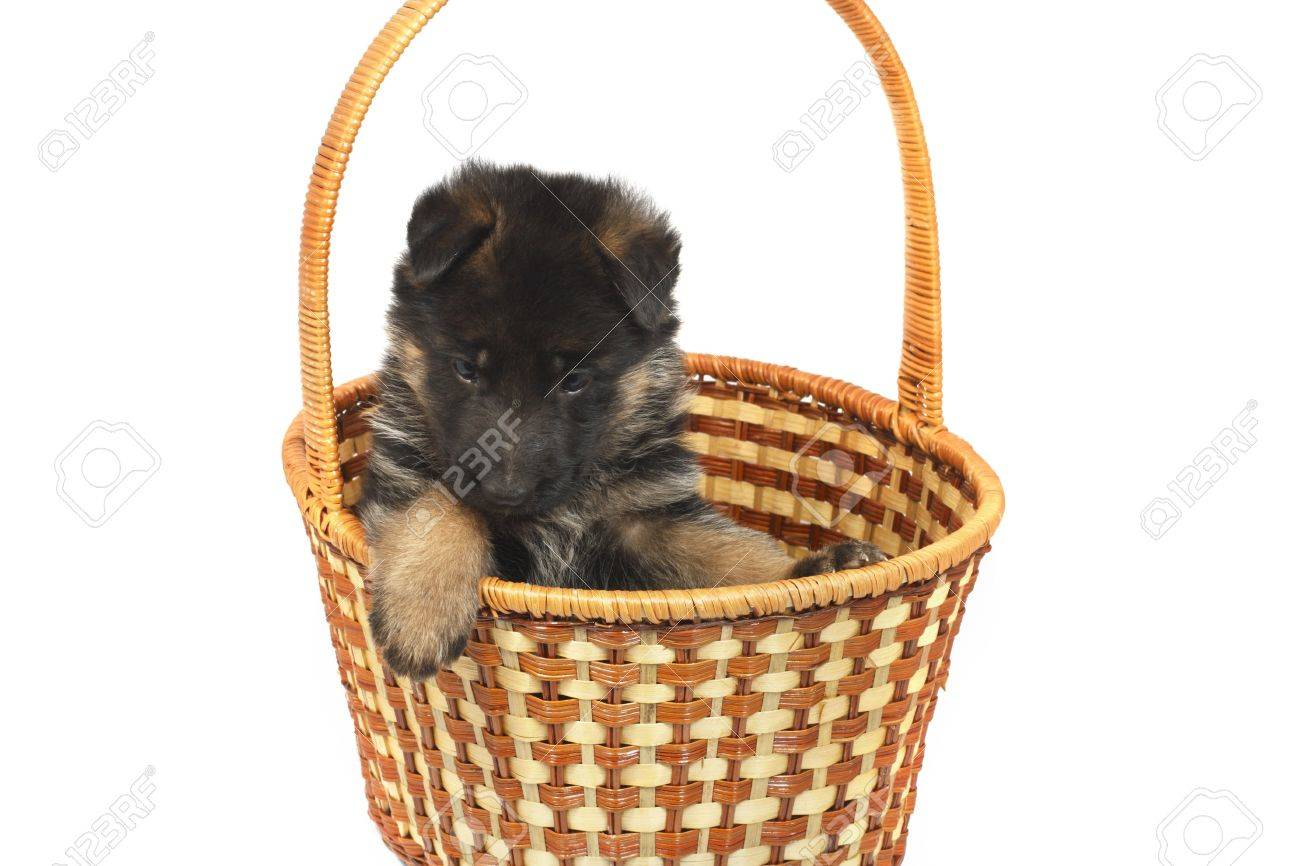 month puppy German Shepherd sidt in a basket isolated on a white background Stock Photo - 7549958