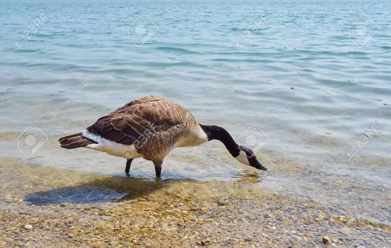 canada goose brine