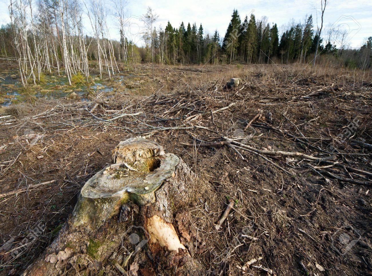 Bosque talado en el este de Europa, tiempo de primavera. Foto de archivo - 19508123