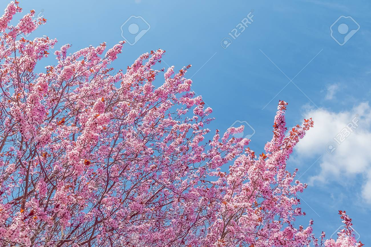 Spring Tree With Pink Flowers Almond Blossom On Blue Sky Background