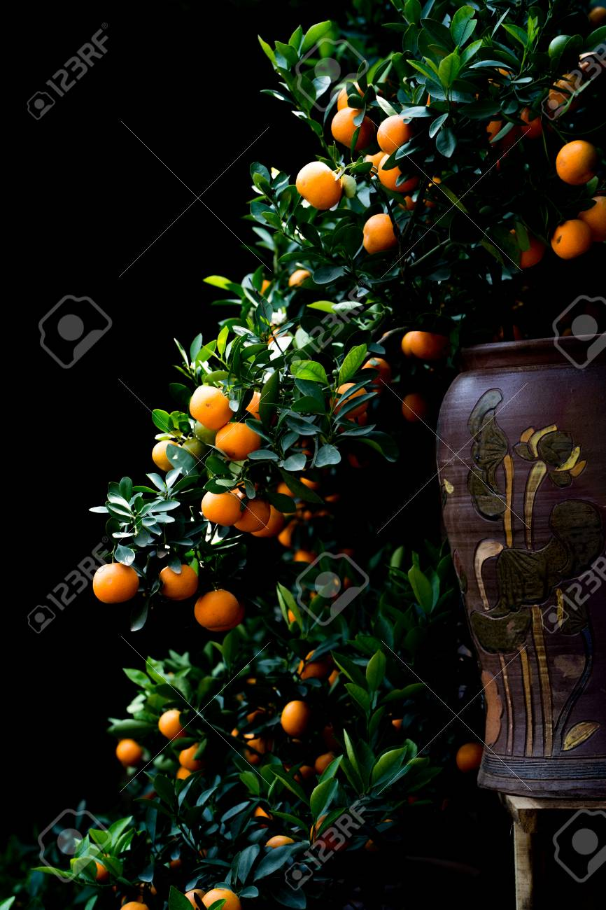 Kumquat Tree Put On The Vase As A Bonsai Tree For Tet Holiday Stock Photo Picture And Royalty Free Image Image 94999696