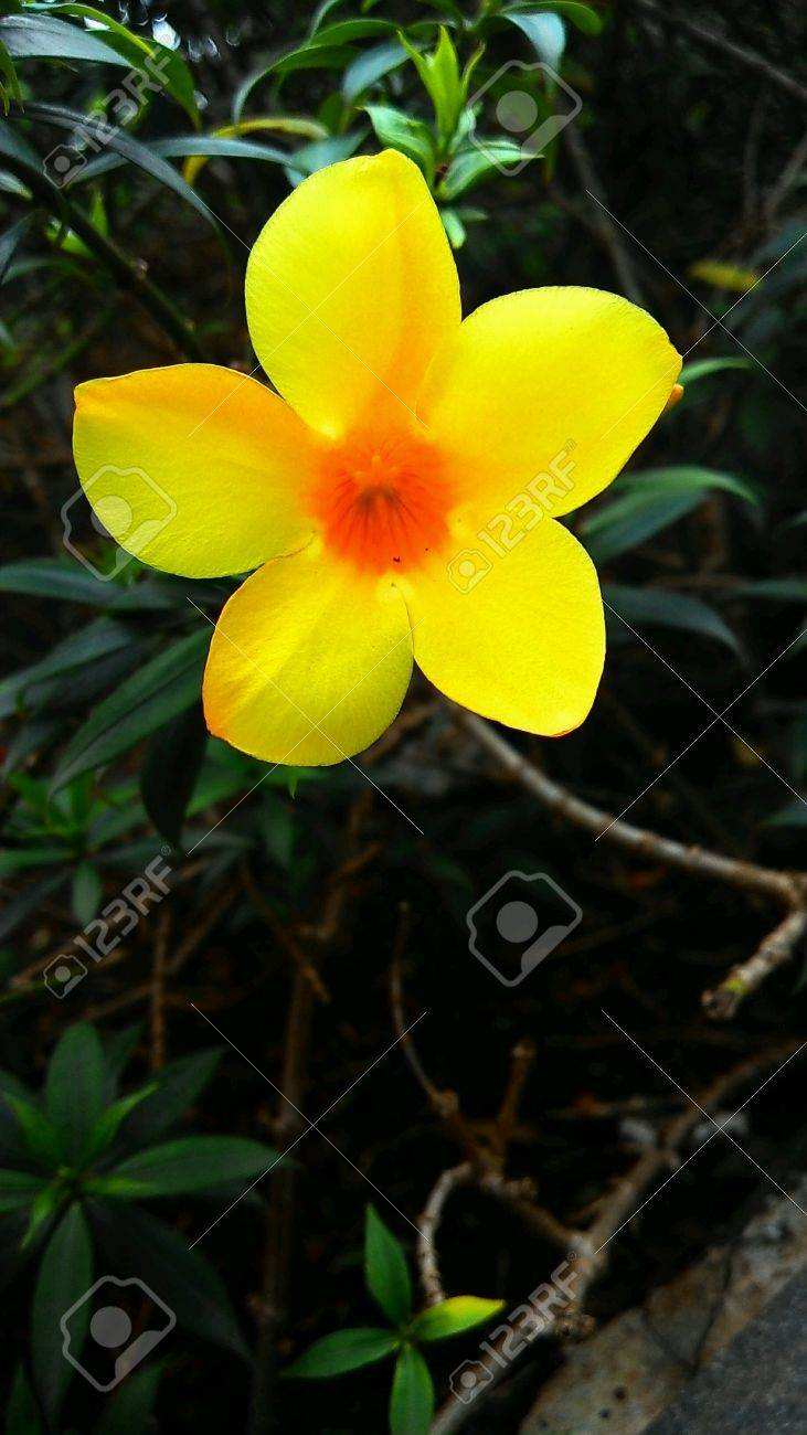 Bright Yellow Colour Flower On Green Background Stock Photo Picture