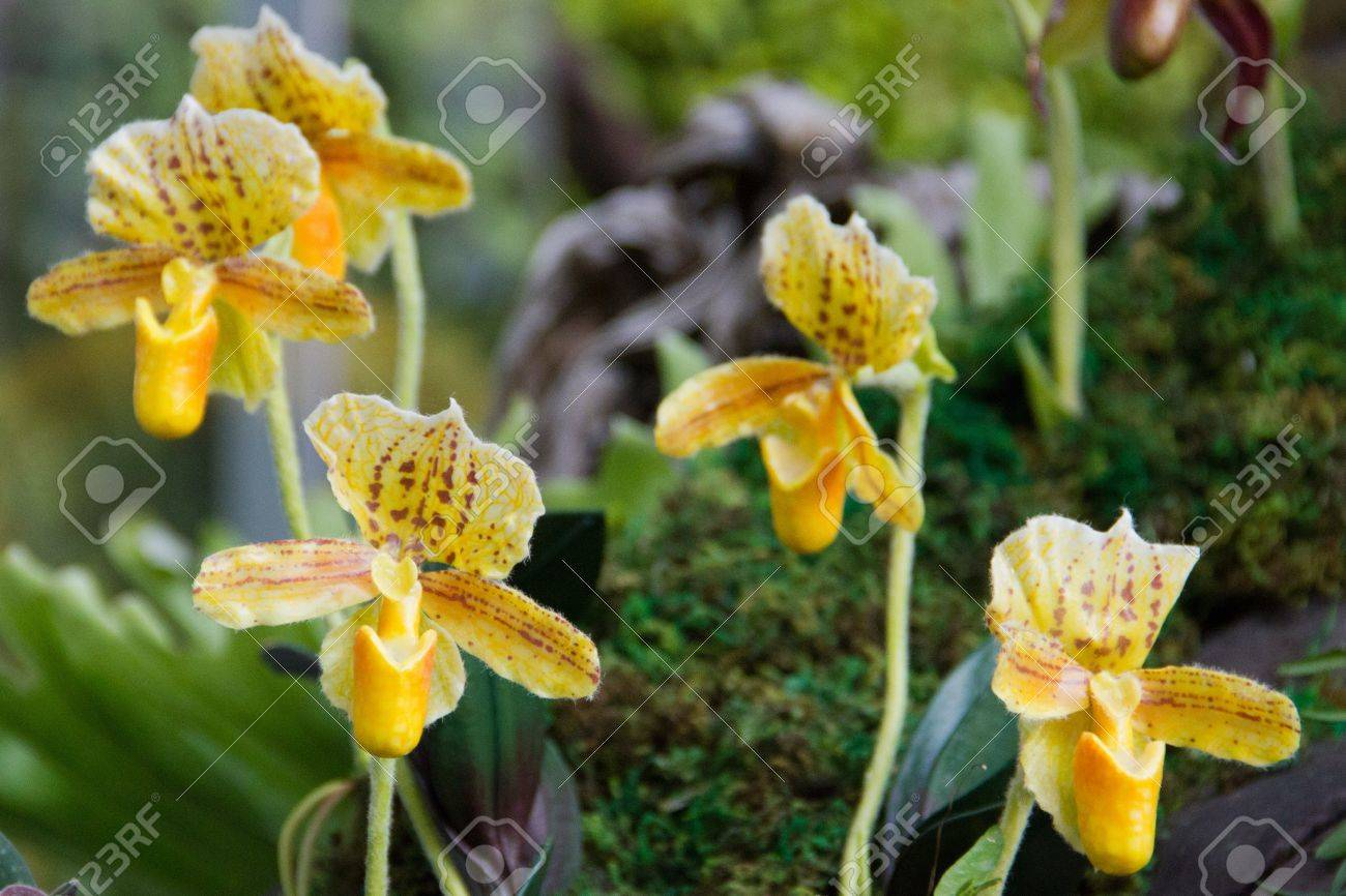 Yellow Lady Slipper Orchid Stock Photo Picture And Royalty Free