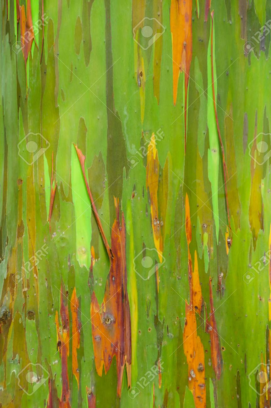 rainbow eucalyptus tree bark on the road to hana maui hawaii