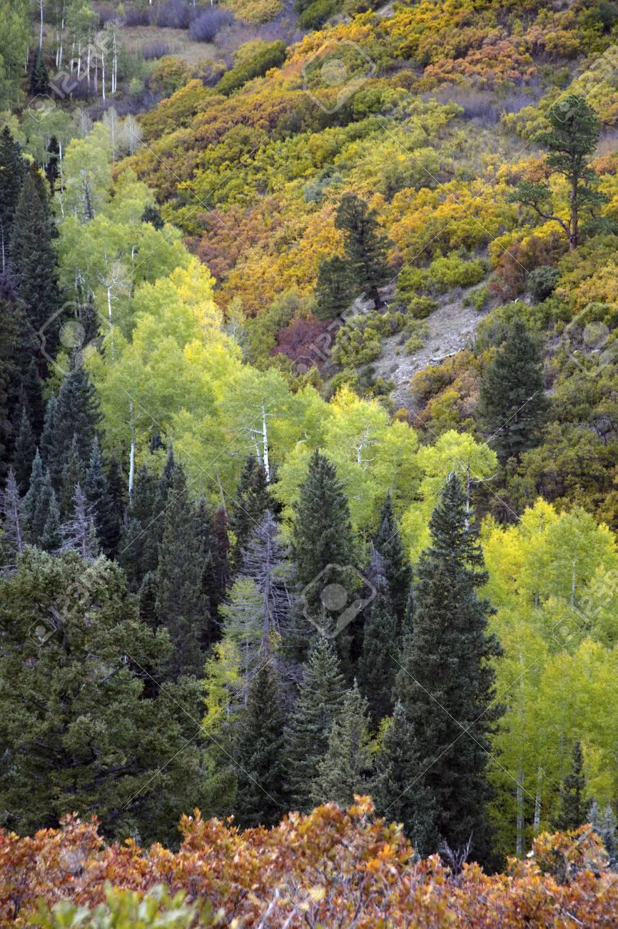 Autumn Fall Color Of Conifer Trees & Aspens And Oak Bushes Near ...