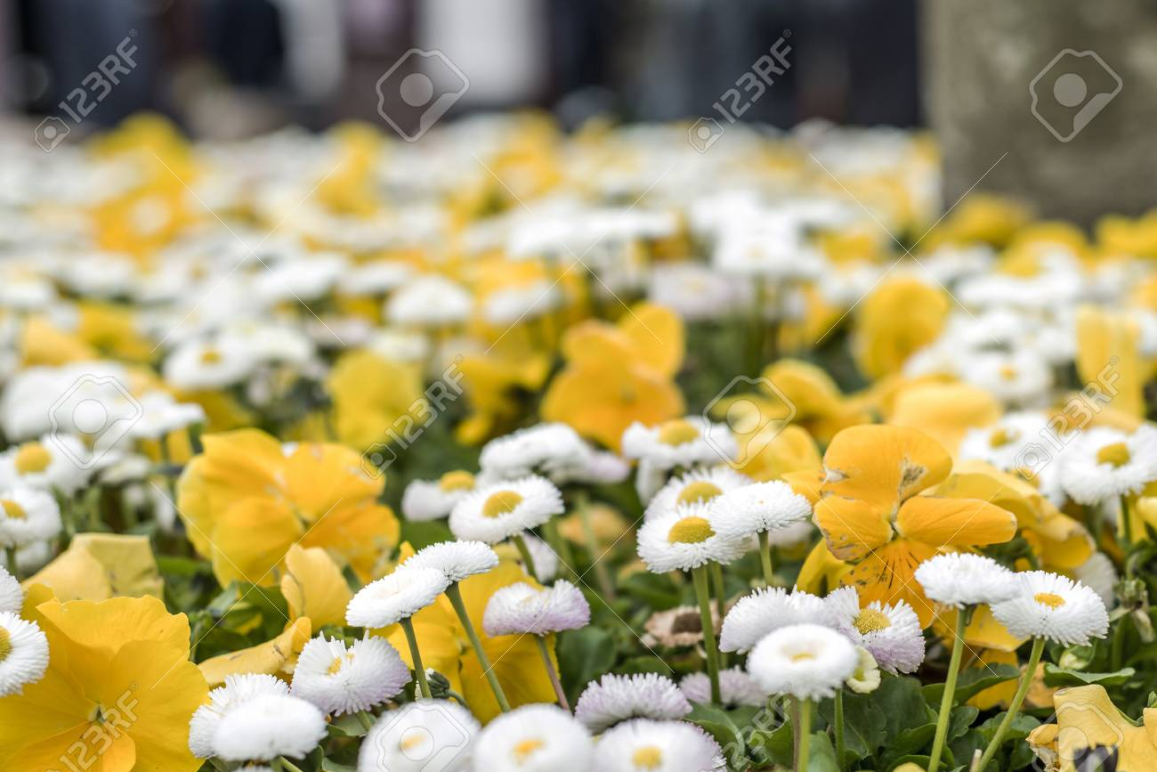Background With Beautiful Pattern Of Yellow And White Flowers Field