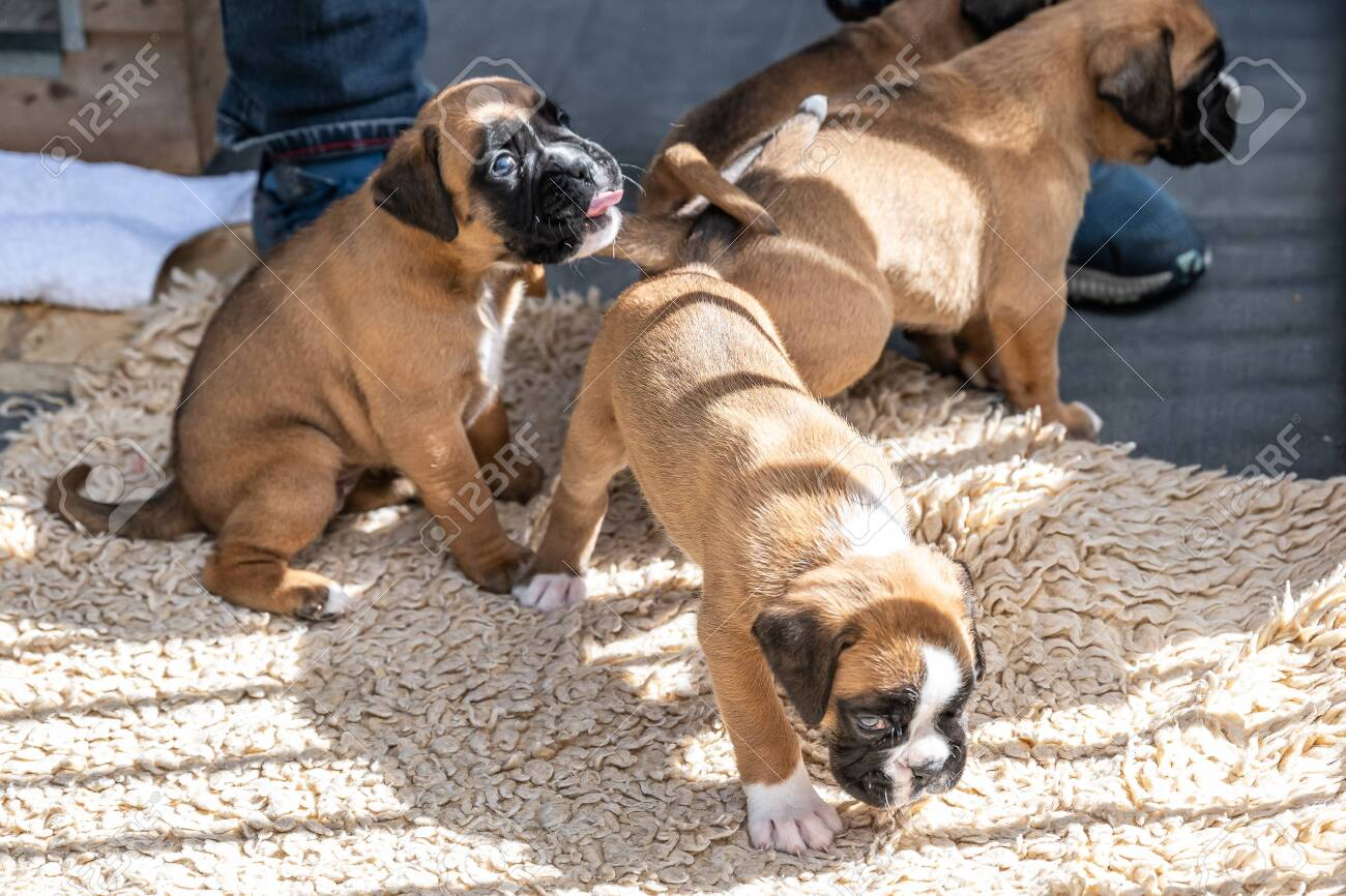 4 Weeks Young Purebred Golden Puppy German Boxer Dogs Stock Photo Picture And Royalty Free Image Image 145156331