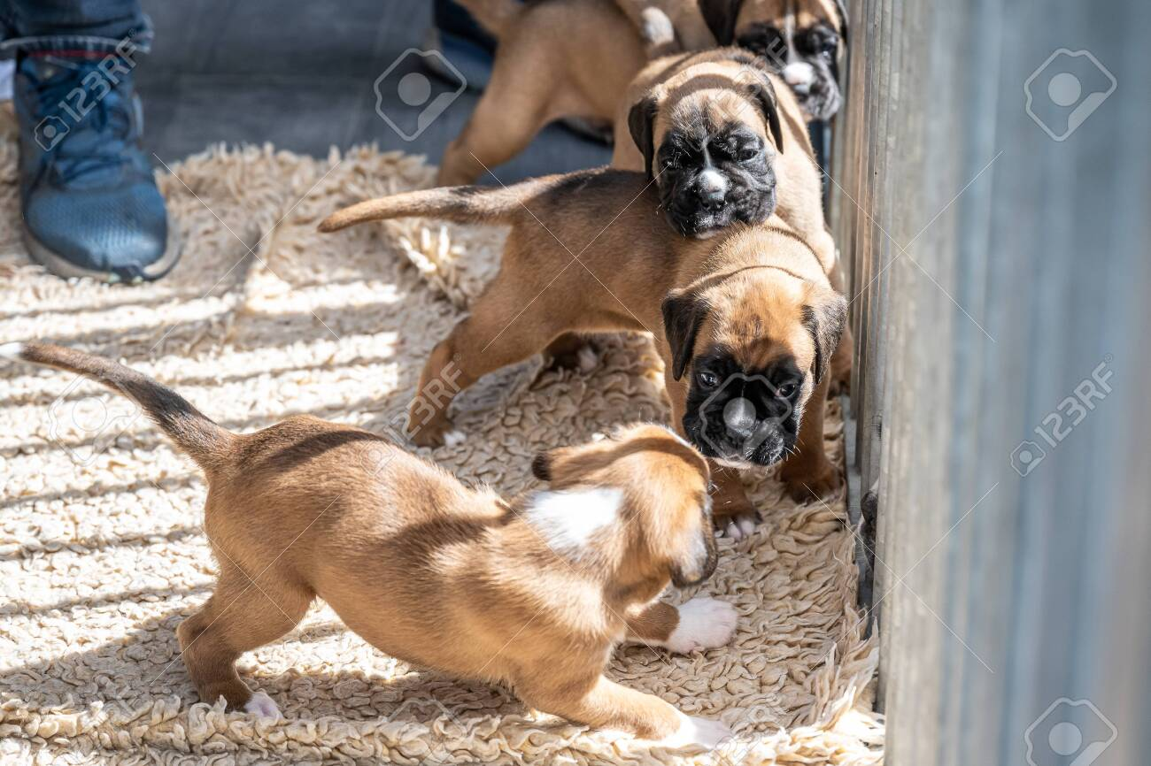 4 Weeks Young Purebred Golden Puppy German Boxer Dogs Stock Photo Picture And Royalty Free Image Image 149053541