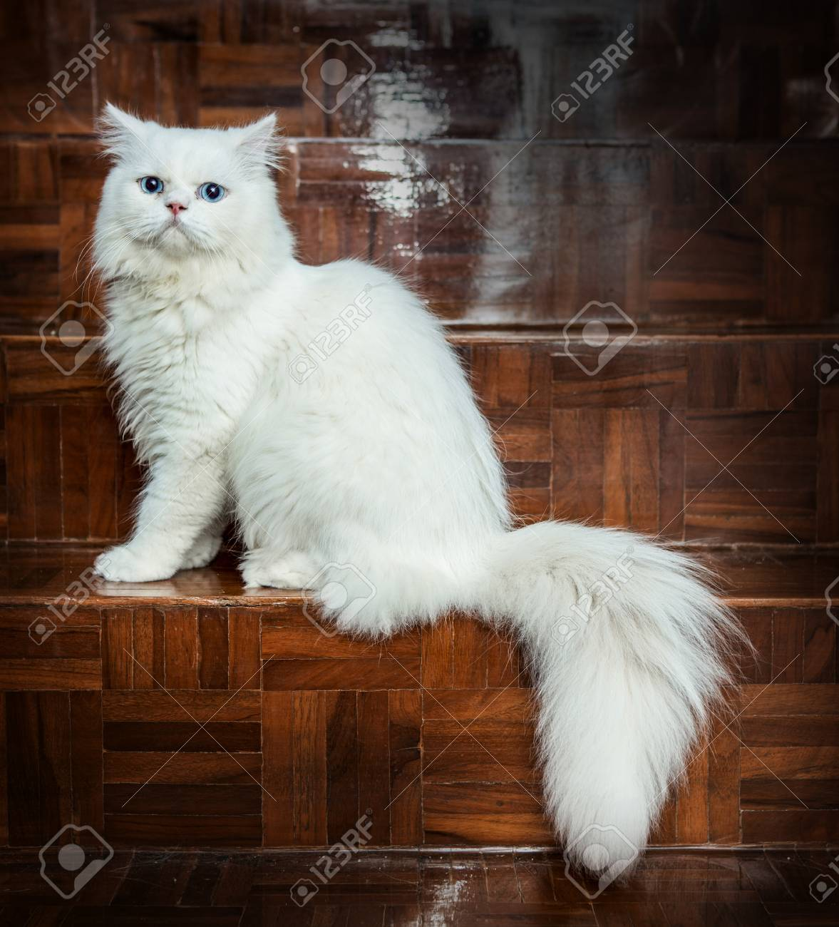 White And Blue Eyes Persian Cats Stock Photo Picture And Royalty