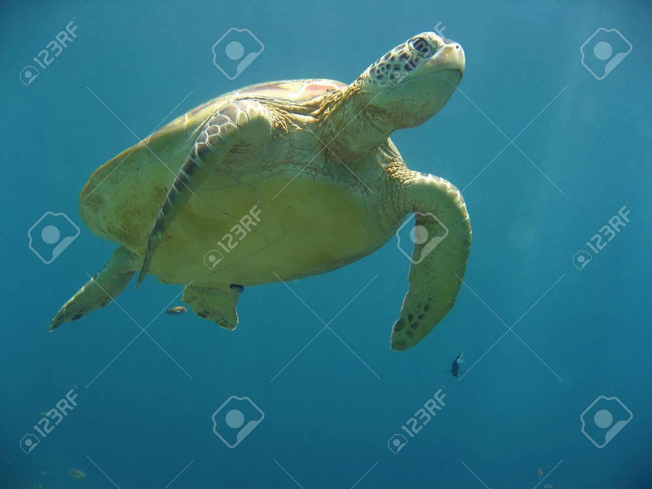 green turtle on coral reef sipadan island sabah borneo Stock Photo - 6618026