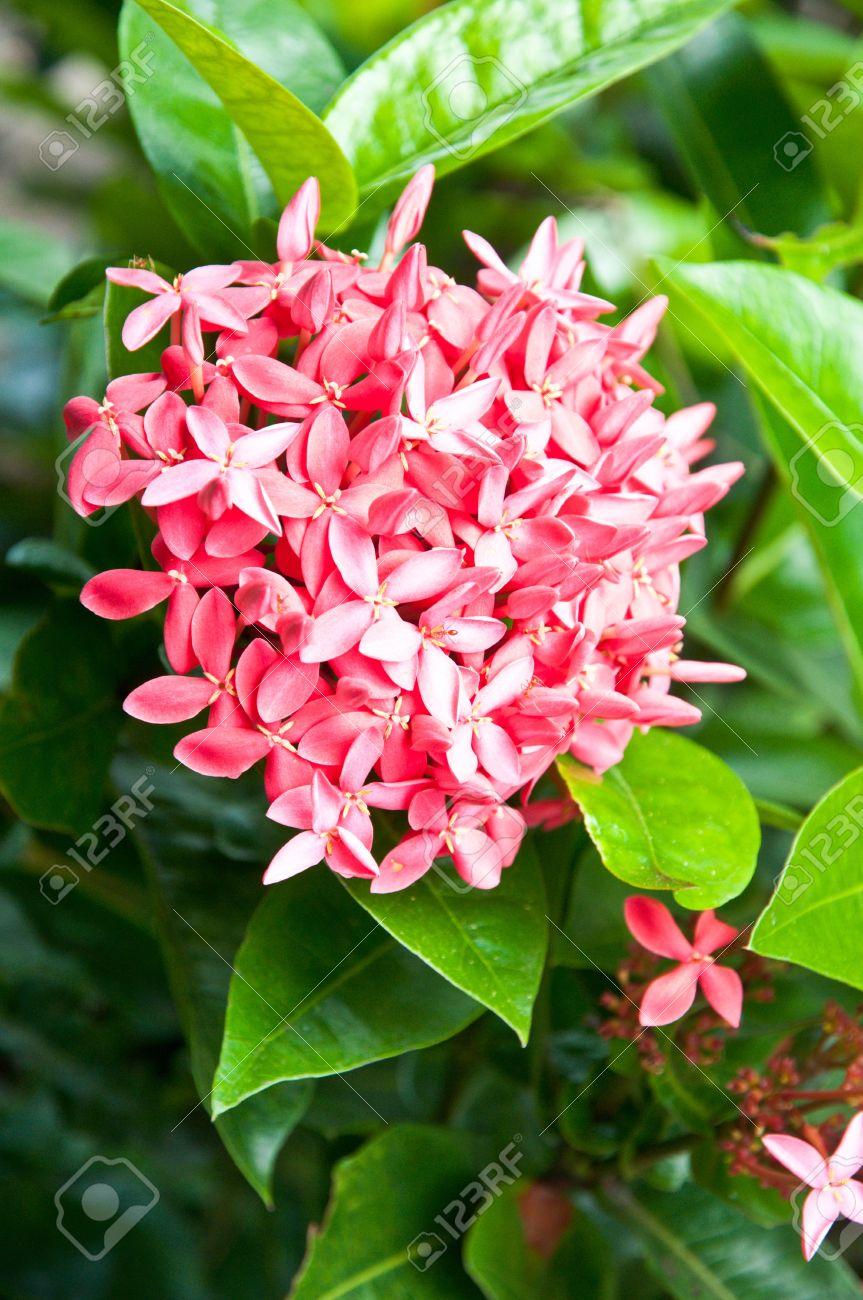 broom pink ixora flowers in garden Stock Photo - 10801969
