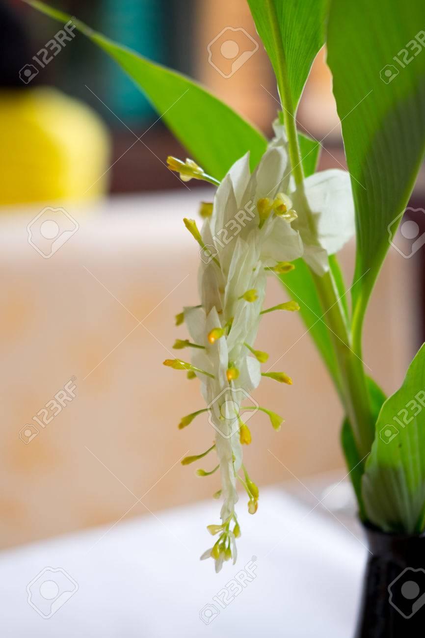 White dragon flower smithatris supraneanae or globba winitii stock stock photo white dragon flower smithatris supraneanae or globba winitii mightylinksfo