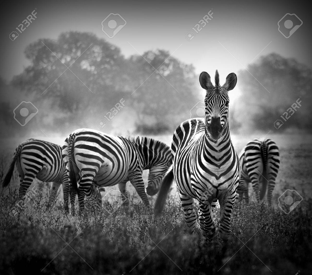 Artistic black and white image of a male zebra with the herd in the background stock