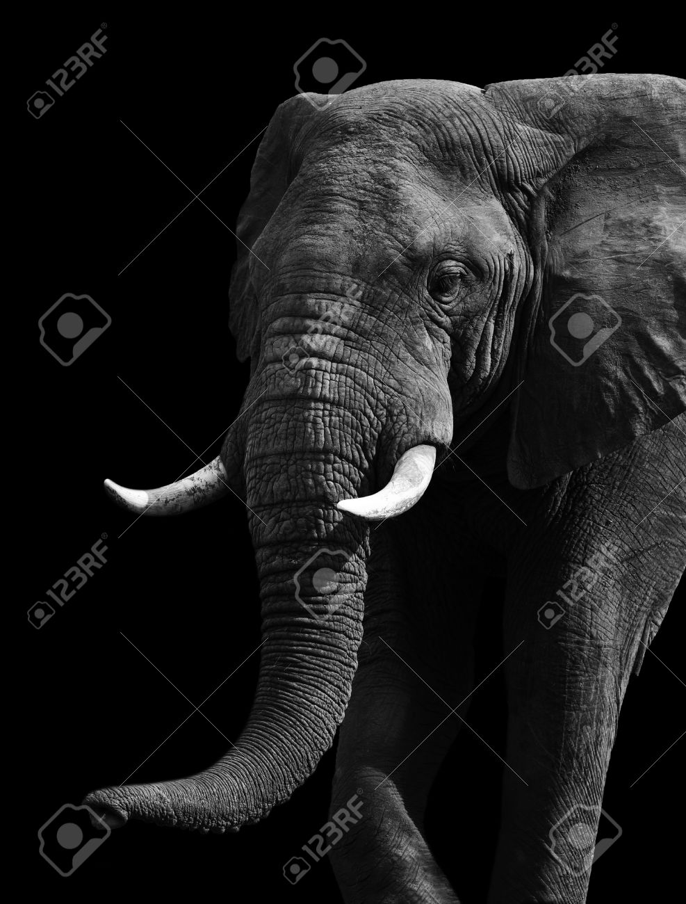 artistic close up of an african elephant in black and white stock