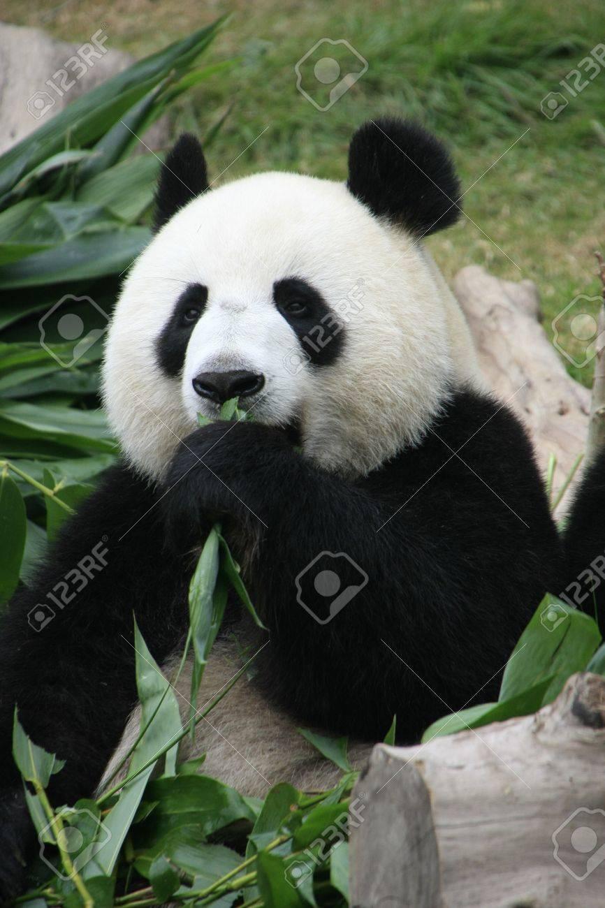 Portrait Of Giant Panda Bear Ailuropoda Melanoleuca Eating Stock