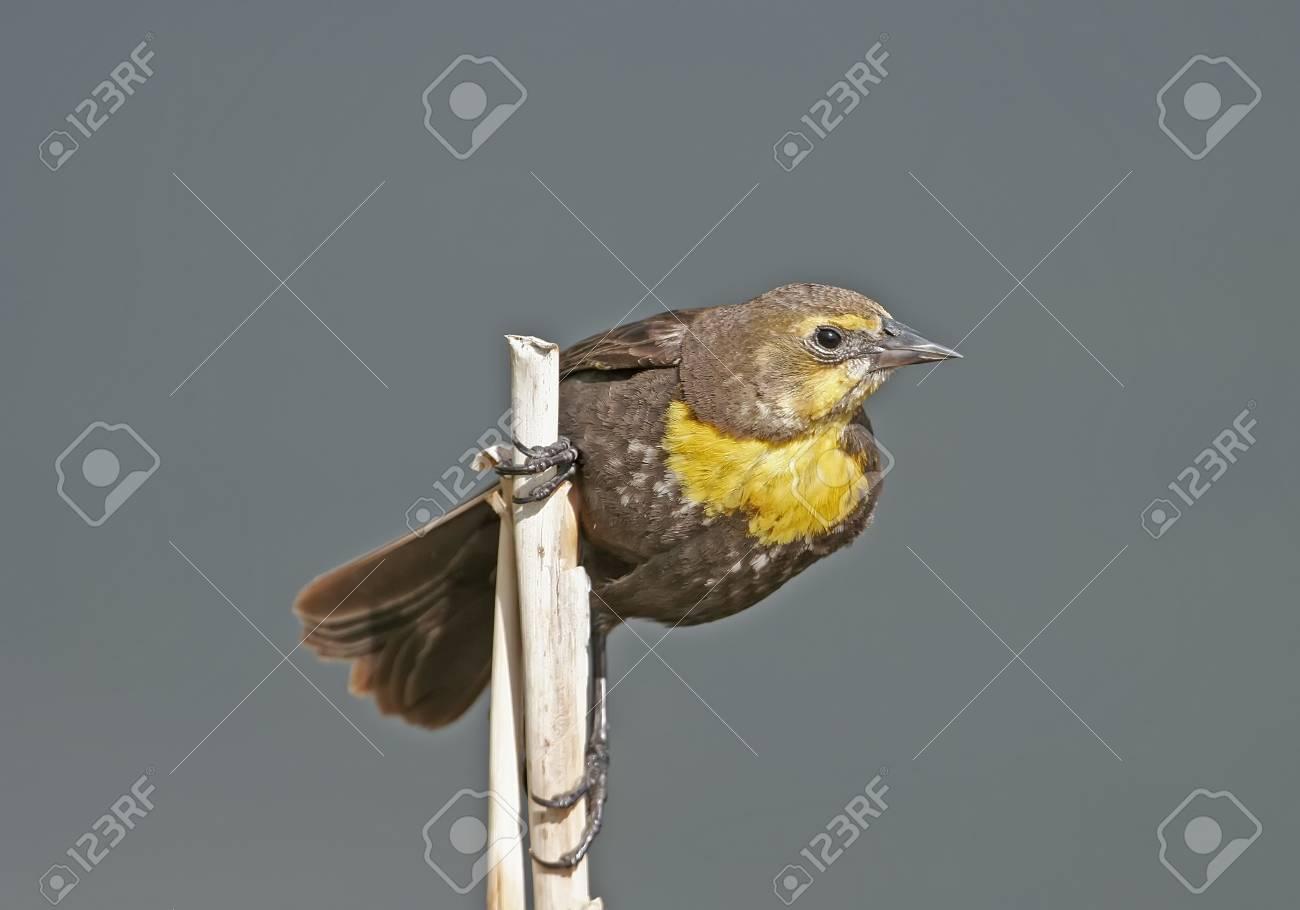Yellow-headed Blackbird female  Xanthocephalus xanthocephalus Stock Photo - 17545789