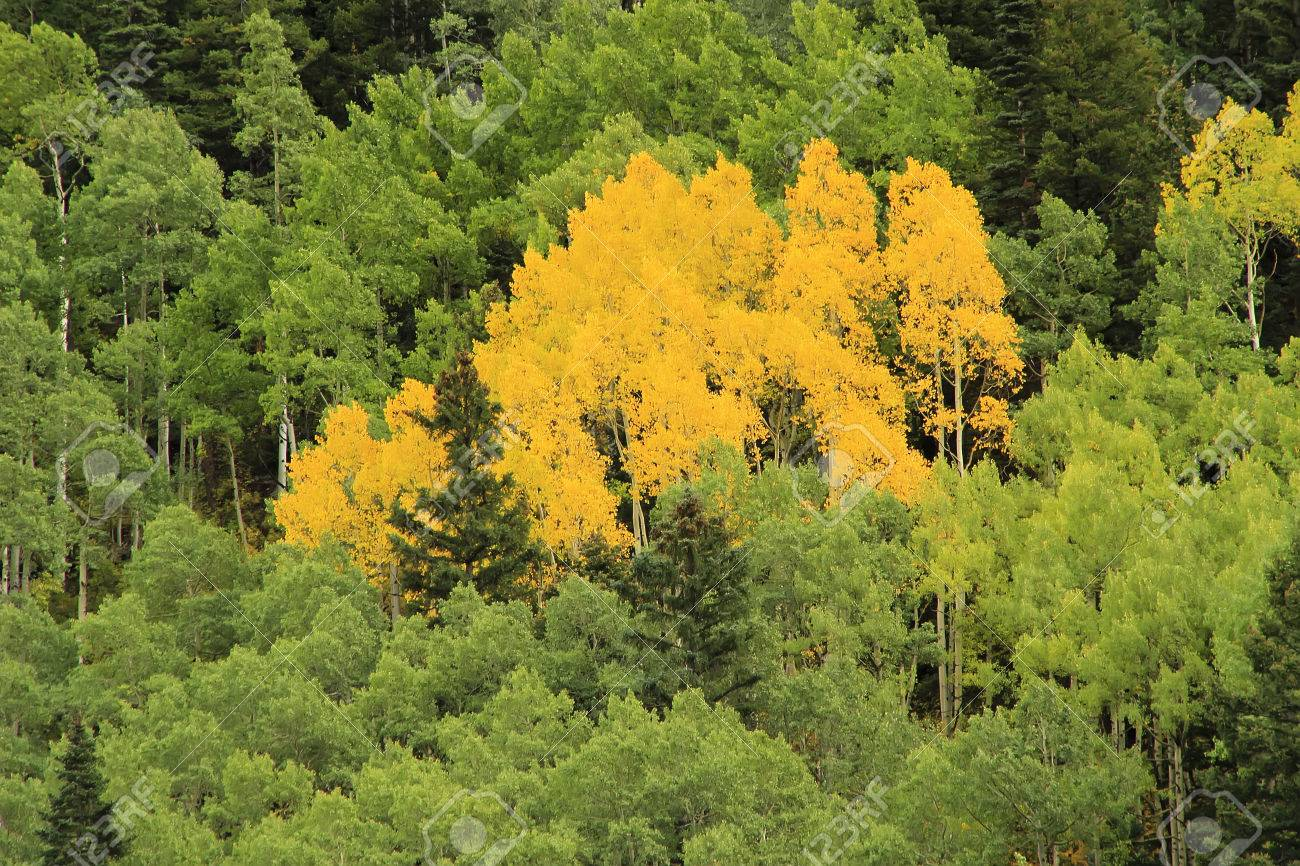 Aspen Trees With Fall Color, Uncompahgre National Forest, Colorado ...