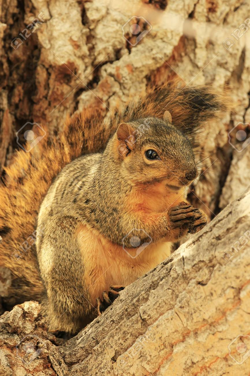 Eastern Fox Squirrel  Sciurus niger  sitting on a tree Stock Photo - 23077817
