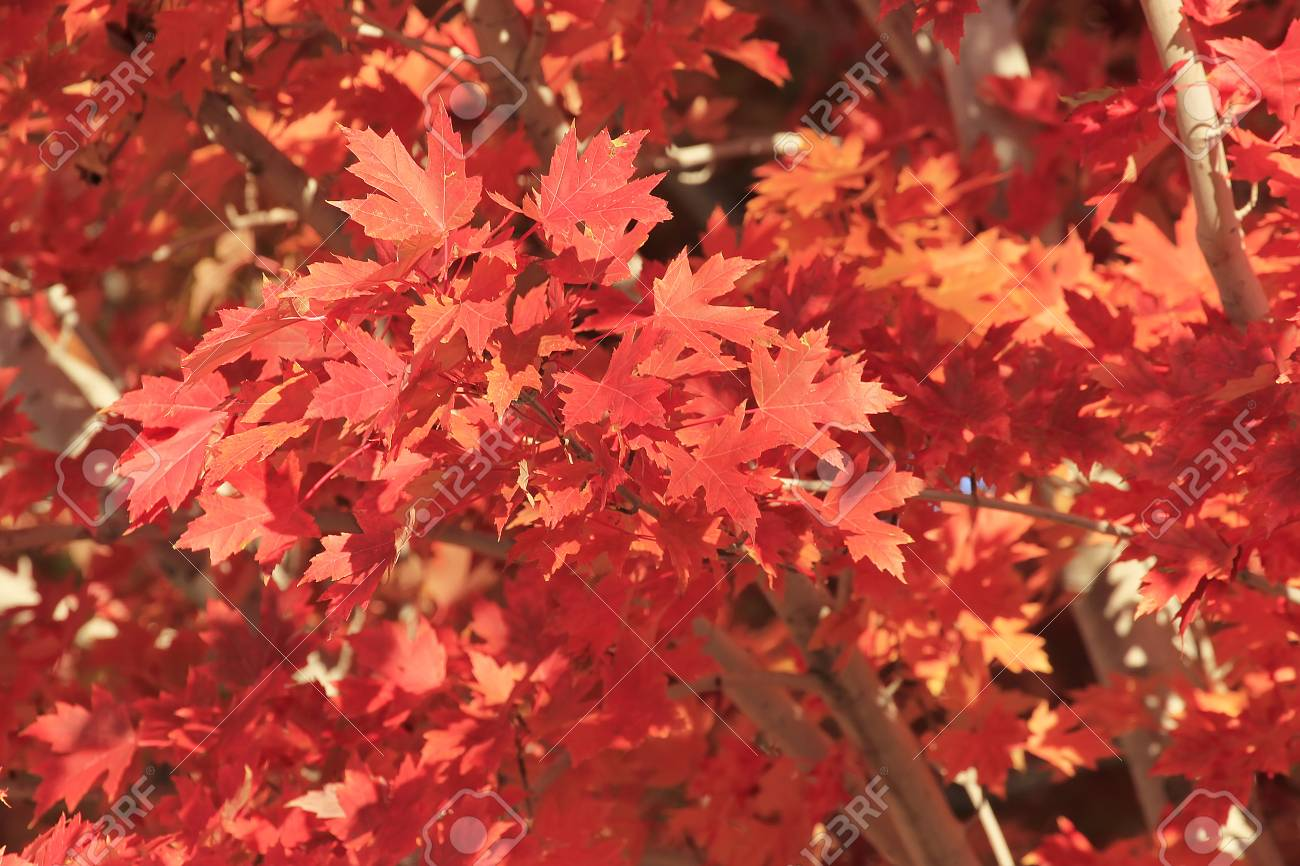 Close Up Of Red Maple Tree Leaves Stock Photo Picture And Royalty Free Image Image 23102860