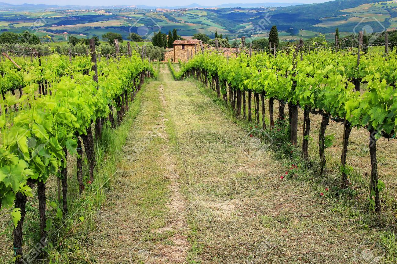 Rows of grape vines at a vineyard near Montalcino, Val d'Orcia,