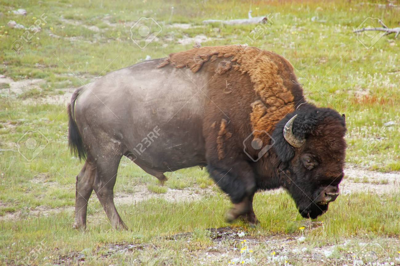 116503847-male-bison-walking-in-yellowst