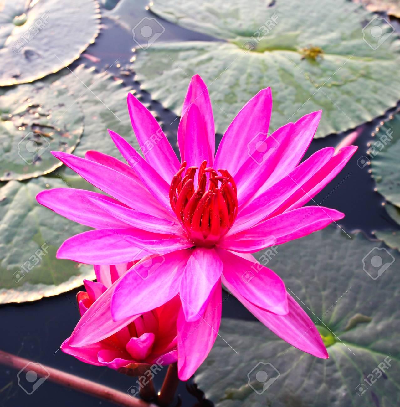 Pink lotus in lake Stock Photo - 12846641
