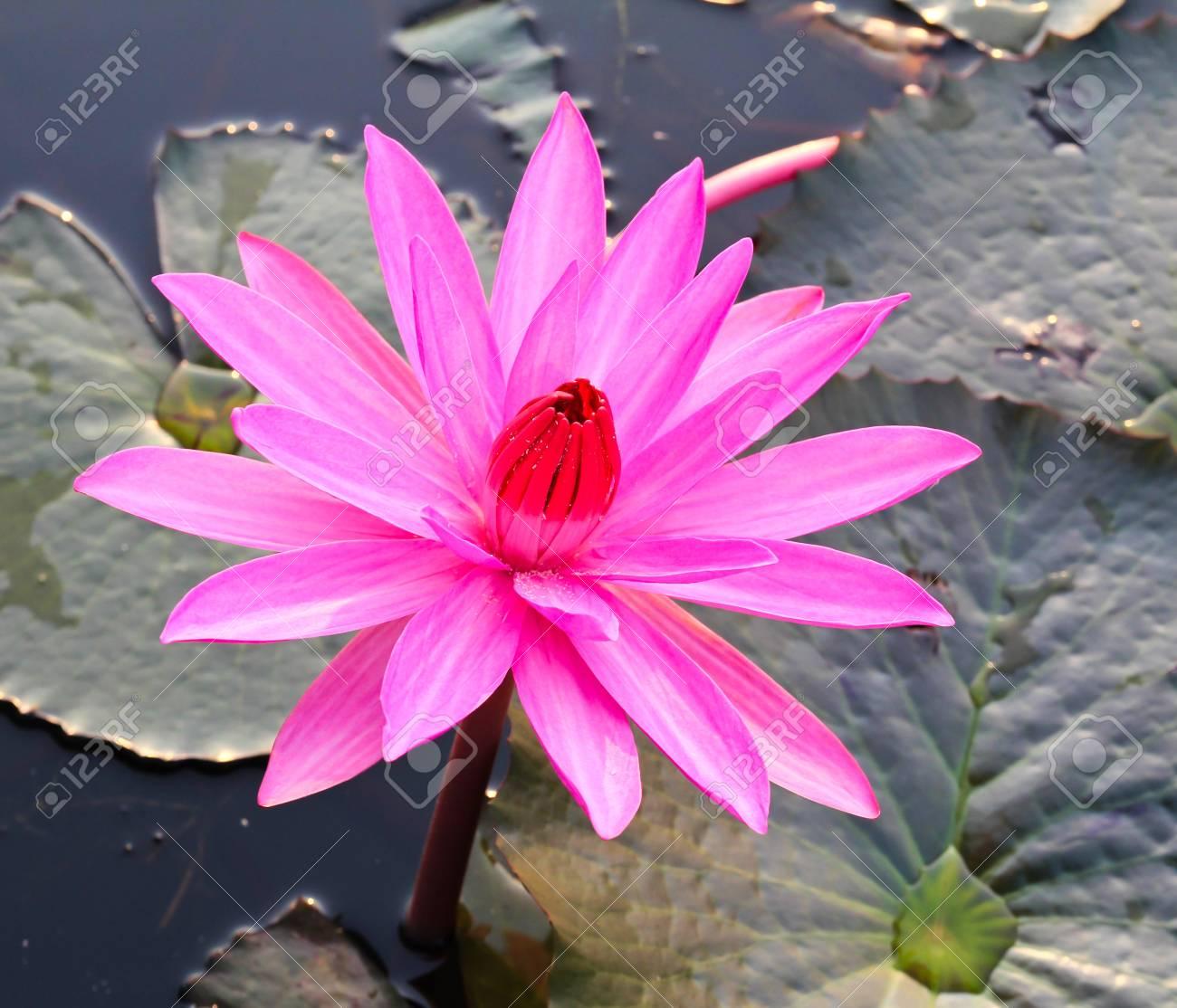 Pink lotus in lake Stock Photo - 12846791