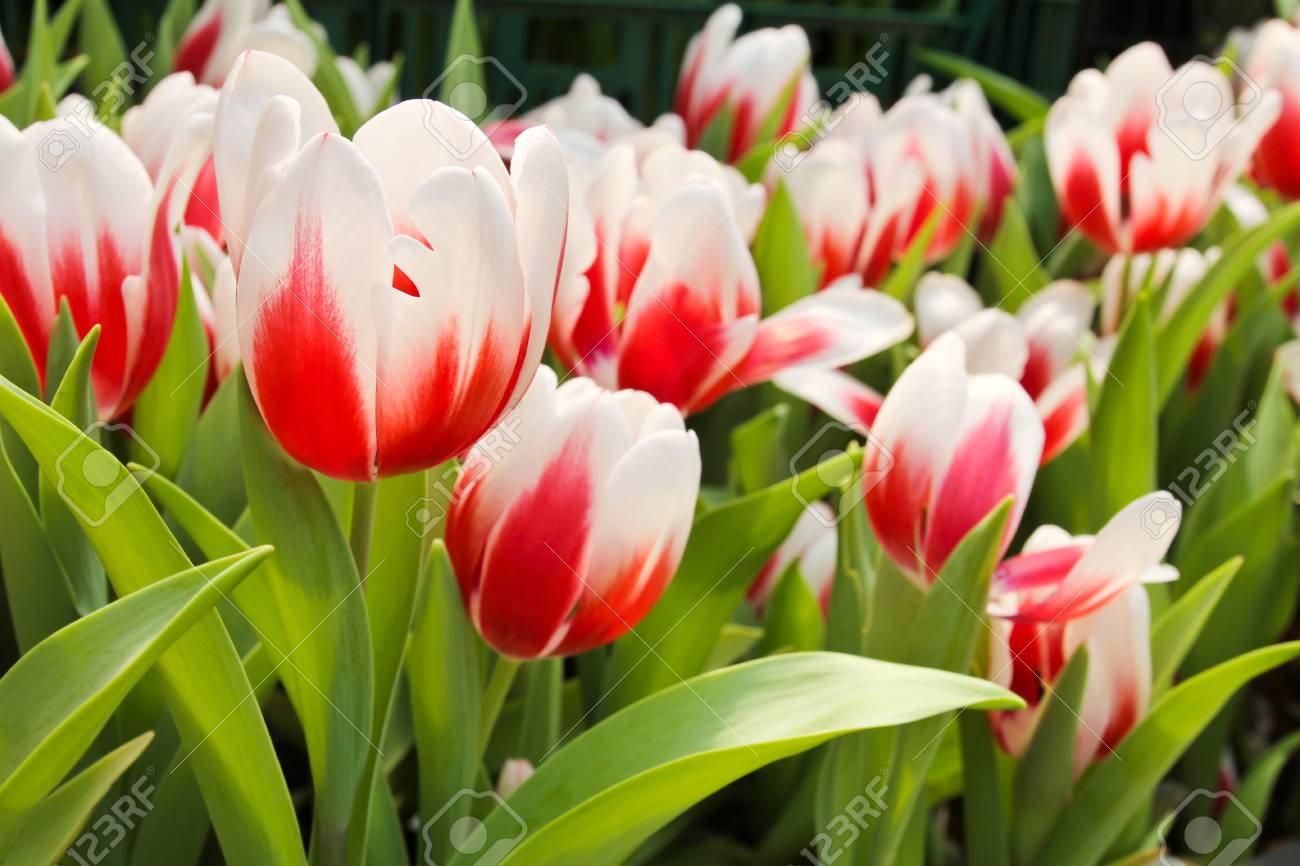 Colorful Tulips in Garden Stock Photo - 17474528